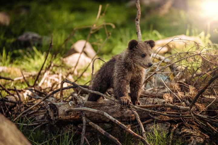 bear cub.jpeg